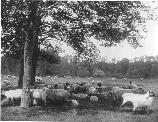 Sheep were part of the experince of many Olmsted parks. They helped to create a rural environment and kept the meadows open.