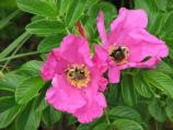 Salt Spray Rose and Bumblebees