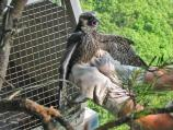 This peregrine chick seems to have something to say