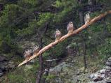 Five Peregrine Falcons Perhced on a Snag