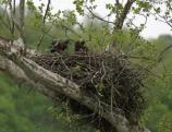Two bald eagle chicks on the nest