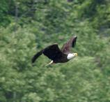 An adult bald eagle in flight