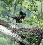 A young bald eagle landing in the nest