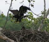 A young bald eagle tests its wings over the nest
