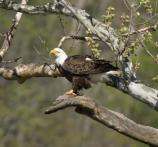 an adult bald eagle perched in a tree