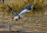 Great Blue Heron taking flight