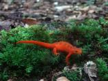 newt crawling through vegetation