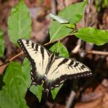 Swallowtail butterfly on a branch with green leaves