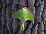 bright green luna moth on a tree