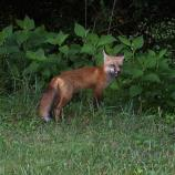 red fox standing at edge of forest