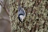 White-breasted Nuthatch creeping down a tree