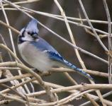 Blue Jay perched in a bush