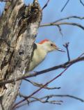 Red-bellied Woodpecker peering out from behind a tree trunk