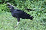 Black Vulture on the ground