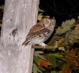 Eastern Screech Owl perched on a telephone pole
