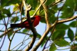 red and black Scarlet Tanager perched in a tree