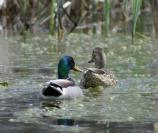 a pair of mallards on the river