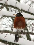 American Robin perched on a snow covered branch