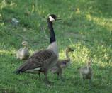 a mother goose and three chicks