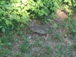 Eastern Cottontail seen at Battery V
