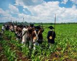 A line of American Revolutionary War soldiers in a cornfield.