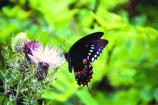 A tiger swallowtail butterfly on a thistle.