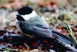 A Carolina Chickadee shows off its