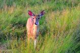 A white-tailed deer stands in the tall grass of Big Meadows.