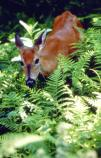 A white-tail deer stands among a bed of bright green ferns.