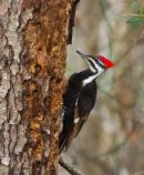 a Pleated Woodpecker with a red crest examines a pine tree for tasty bugs