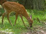a small deer with white spots grazes