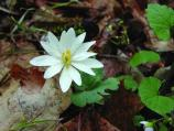A bloodroot emerges from the forest floor in early spring.