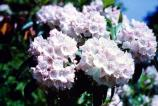 Mountain laurel blossoms - a treasured site in Shenandoah, especially along Limberlost Trail.