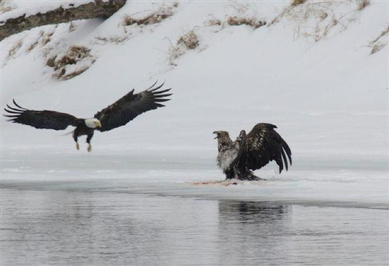 golden eagle fishing photo gallery us national park service
