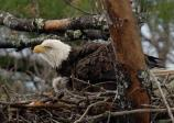 Adult and eaglet in nest