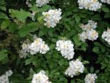 Multiflora Rose - This perennial shrub produces fragrant, white flowers in May. This plant is a problem in abandoned agricultural fields and unplowed lands.