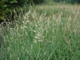 Reed Canary Grass - This cool-season grass grows 8 feet tall and forms dense stands along the river's edge. Its long, membranous ligule helps distinguish it from other grasses.