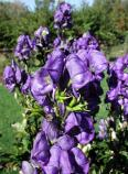 Monkshood in the Weir Garden.