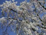 Weeping Cherry blossoms against a blue sky.