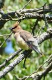 Cedar Waxwing at Weir Farm National Historic Site