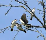 Eastern Kingbirds at Weir Farm National Historic Site