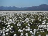 White blooms of cottongrass on tundra.