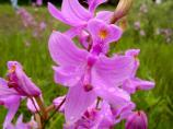 Vibrant pink orchid in field.