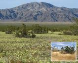 Annual plant species fill the interspace of creosotebushes at Joshua Tree National Park