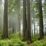 Several trees stand in the Redwood National Park forest.