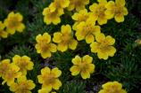 Two-flowered Cinquefoil