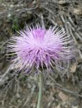 California thistle (Cirsium occidentale)