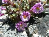 Hetch Hetchy monkeyflower (Mimulus filicaulis)