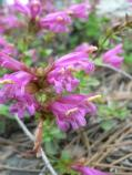 Pride of the mountains (Penstemon newberryi)