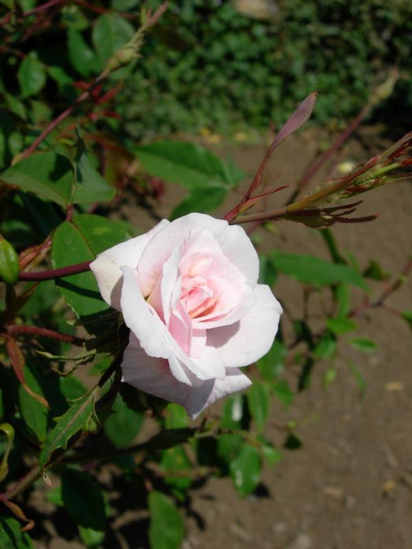 Cecile Brunner Rose History Rose Rosa 39 Cecile Brunner 39